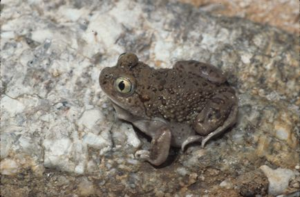 Taupe colored frog with green eye sits on a rocky area.