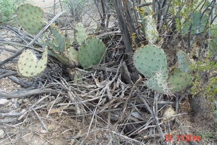Pile of sticks and debris at the base of a prickly pear cactus.