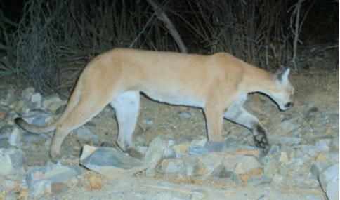 Bobcats And Mountain Lions Saguaro National Park U S National Park Service