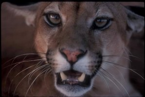 Close up of mountain lion face.