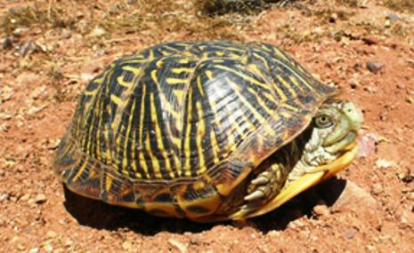 A turtle tucked inside its yellow and black striped shell in a natural setting.