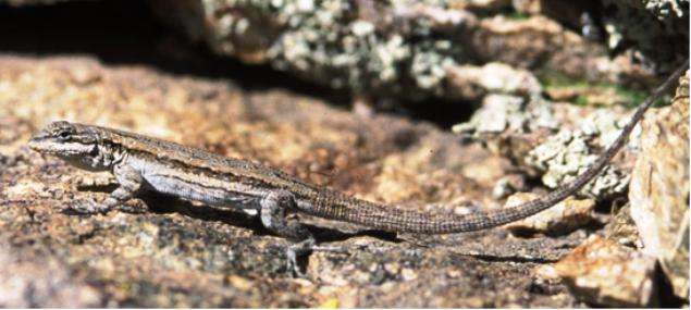 Lizard stretched out on a rock in front of lichen.