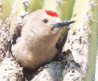 Gray bird with a red spot on its forehead and a long, black bill emerging from a hole in a cactus.
