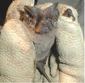 Small bat with long tail is held in a gloved hand.