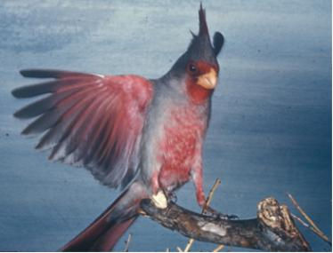 Red and gray bird with crest with raised wings perches on a branch.