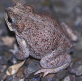 Toad with red patches sits in a natural setting.