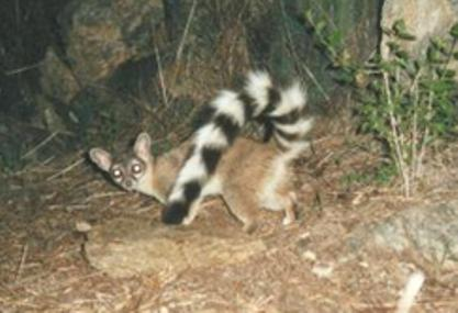 A ringtail in a natural setting looking toward the camera.