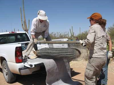 Park Biologists replacing illegally poached saguaro
