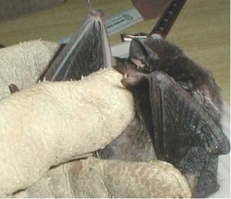A bat covers its head with its wing while held in a gloved hand.