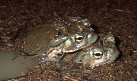 Two toads in water with debris floating on the surface.