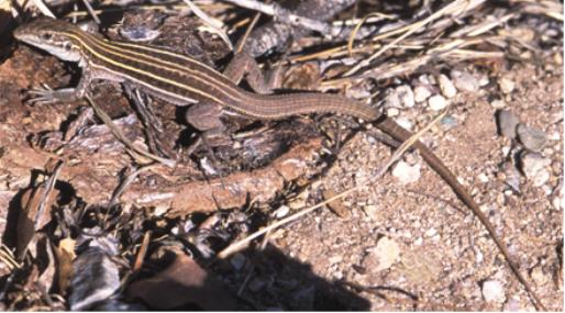 Lizard with long tail on debris on the ground.