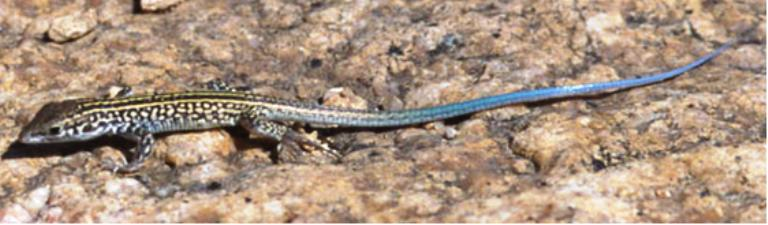 A lizard with a long blue tail on a rock surface.
