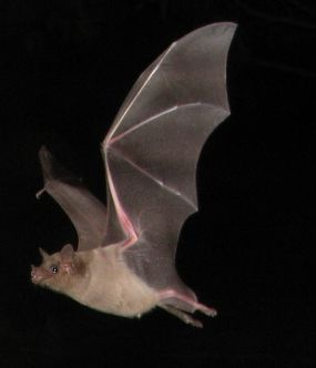 Image of a bat flying with a tan body and dark wings.