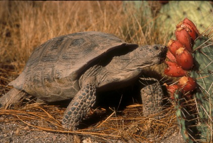 A tortoise eating a red prickly pear fruit.