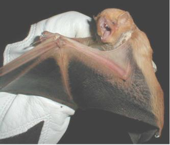A bat with a reddish body and dark, outstretched wings is held by a gloved hand.