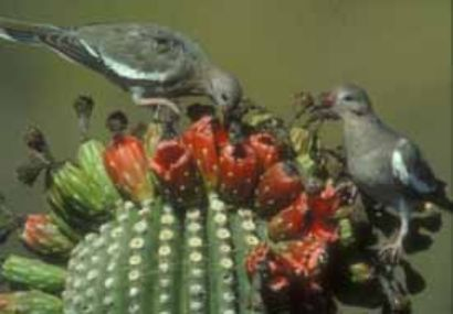 Two gray birds perched on top of a cactus with their beaks in cactus fruits.
