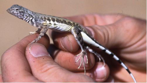Lizard with light colored belly and long toes held in an hand.