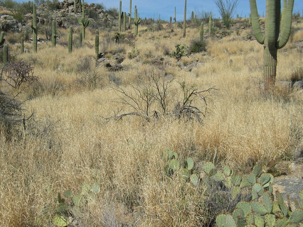 Dense stand of the invasive grass buffelgrass choking out native vegetation in Saguaro National Park, Arizona.