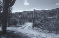 Black and white photo of a dirt road amid a cactus forest.