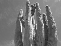 Black and white photo from below of a saguaro with many arms.