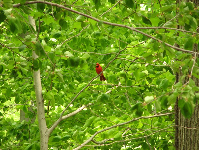 Cardinal perched at Sagamore Hill. NPS/Scott Gurney