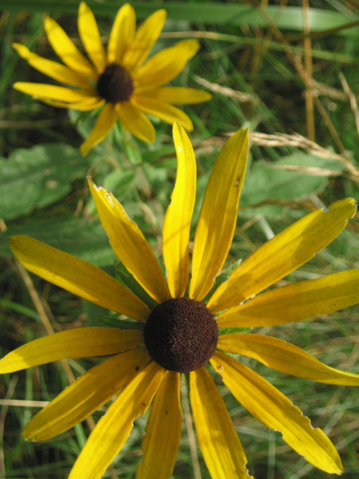 Black-eyed susan (Rudbeckia hirta) in bloom at Sagamore Hill. NPS/Scott Gurney