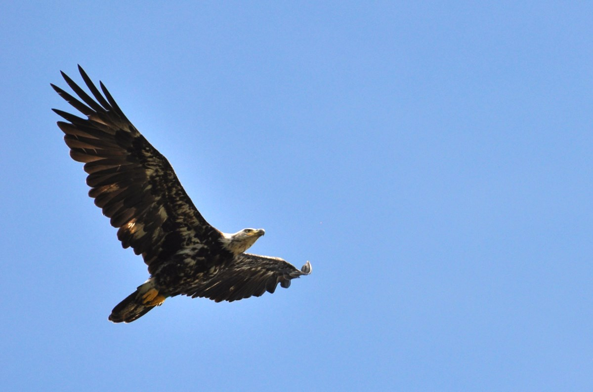 A soaring brown and white eagle against blue sky.