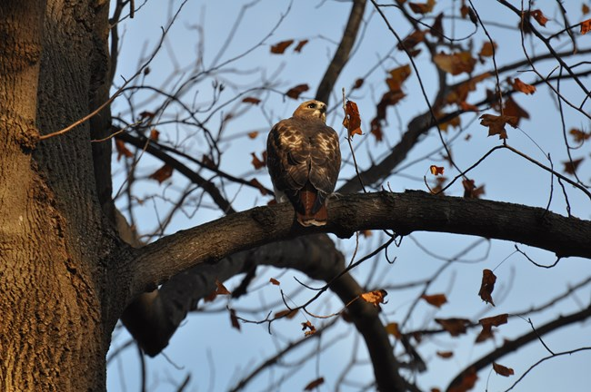 A Red Tail Hawk sits on a branch on Sagamore Hill Nature Trail.