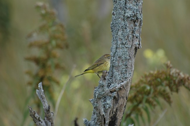 A palm warbler (Setophaga palmarum) perching at Sagamore Hill. NPS/Scott Gurney