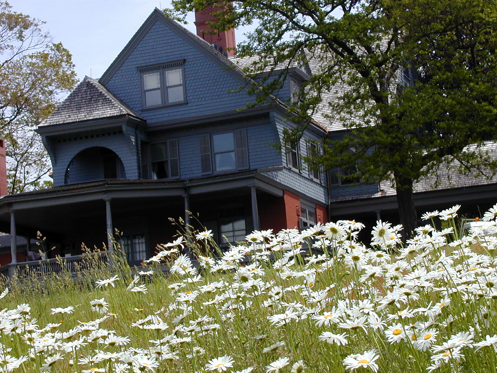 Daisies growing in front of Sagamore Hill.