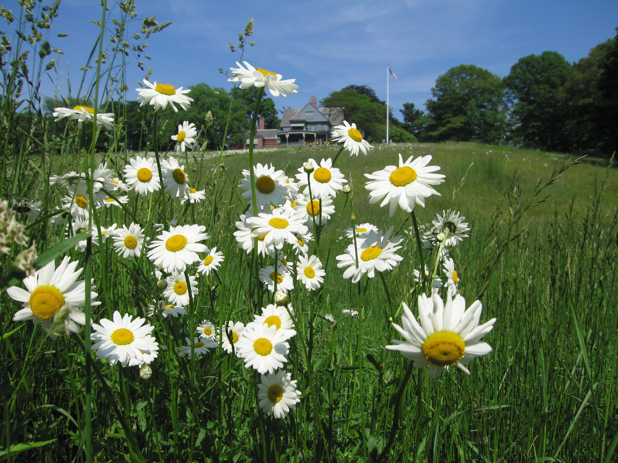 Daisies in front of Sagamore Hill