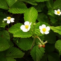 Young strawberries bloom all along the Saugus Iron Works nature trail creating a lush path side.