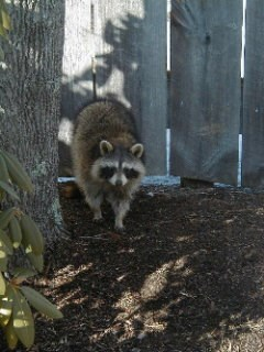 A raccoon exploring the habitat around Saugus Iron Works.
