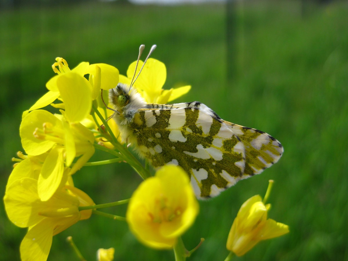 A green and white Island Marble Butterfly resting on a yellow mustard plant.