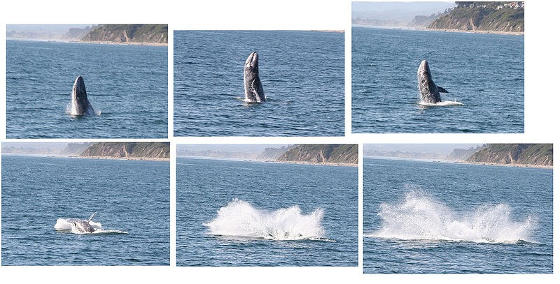 Gray-Whale-Collage