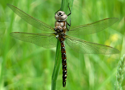 American Camp Dragonfly
