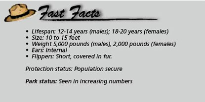 Fast Facts_elephant seal