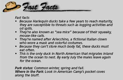 Fast facts Harlequin duck