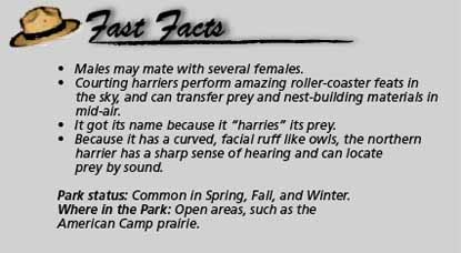 Fast facts Northern harrier