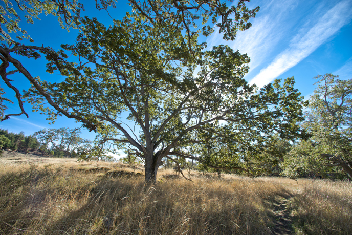 Garry oak on Young Hill