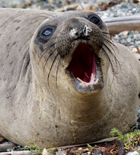 Young Elephant Seal Molting
