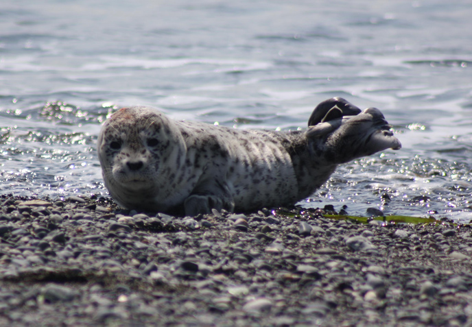 Harbor Seal - San Juan Island National Historical Park (U ...
