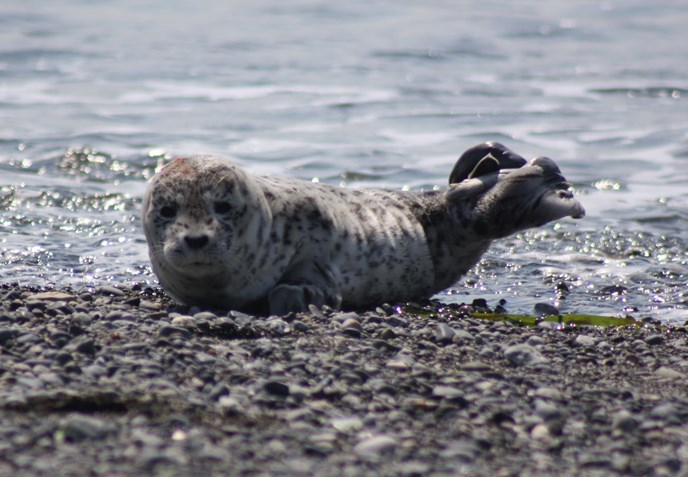 baby-harbor-seal