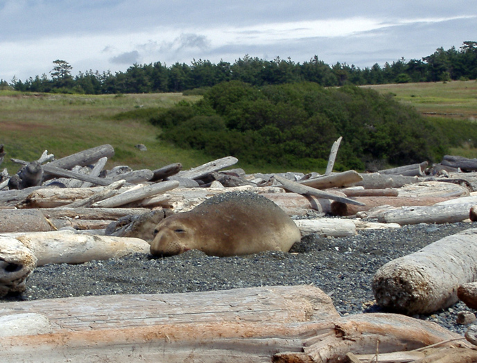 elephant_seal_snout_on