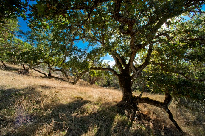 garry oak gary