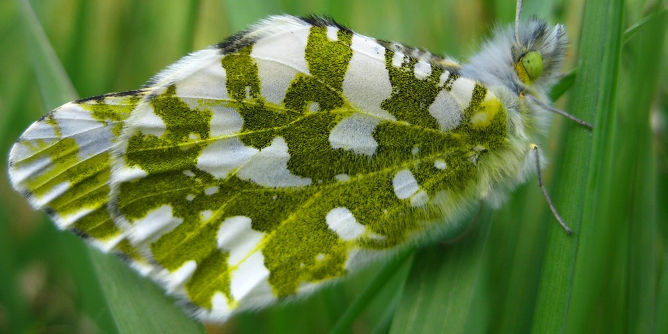 The green and white Island Marble Butterfly resting on a green plant.
