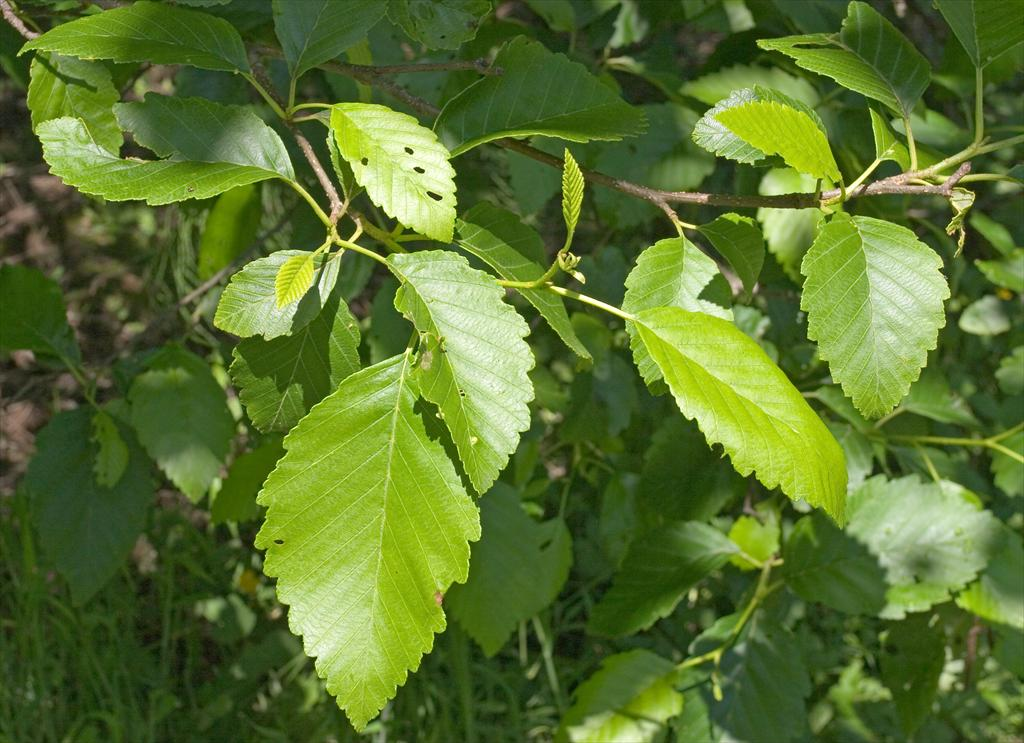 red alder leaves