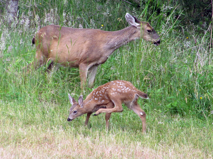 summer_2009_doe_and_her_fawn