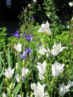 bellflowers are shaped like upside-down bells, and come in white and blue.