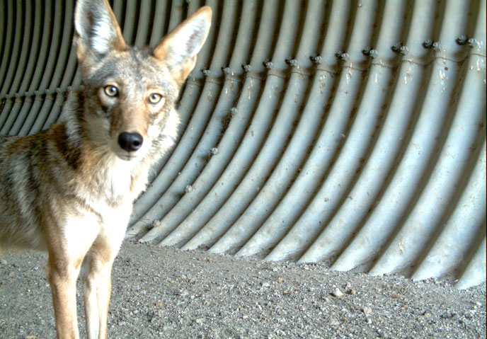 A coyote in a large culvert stares at the remote wildlife camera